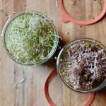 Como preparar germinados paso a paso