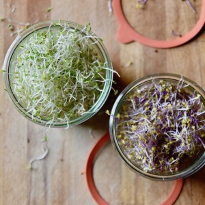 Como hacer germinados paso a paso